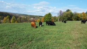 cows3.10.7.2015